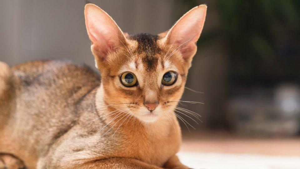 毛づやの良い美人猫。アビシニアンの特徴や性格、飼い方