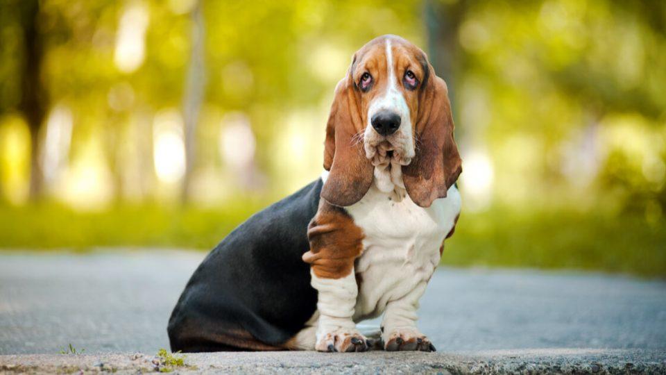 もともと狩猟犬なのに足が遅い?バセット・ハウンドの性格や魅力、飼い方