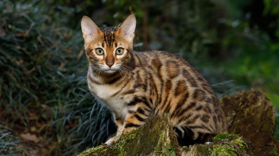 野性味が魅力!ベンガル猫の特徴・飼い方