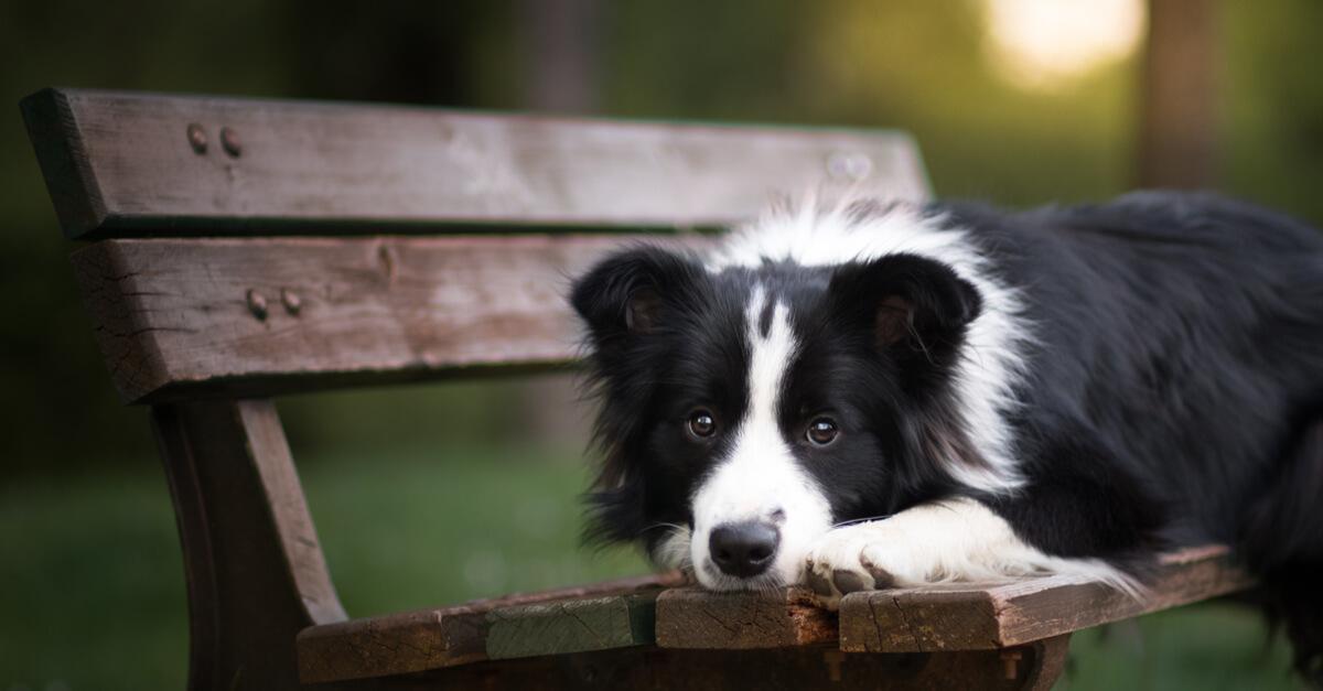 Resultado de imagen para 犬 border collie 美しい目