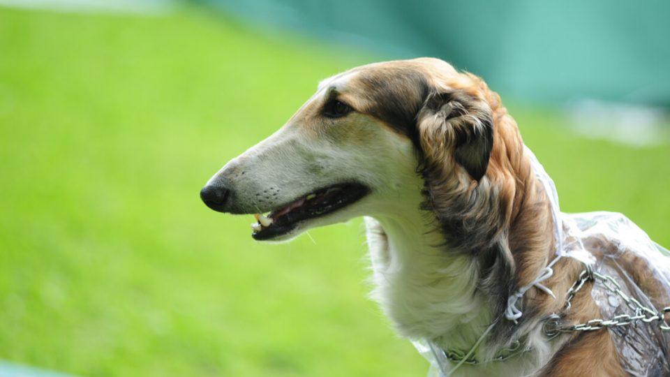 ロシアの貴族たちに愛された美しい猟犬。ボルゾイの特徴・飼い方