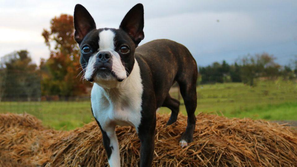 温厚な性格で室内犬として人気!ボストンテリアの魅力や飼い方