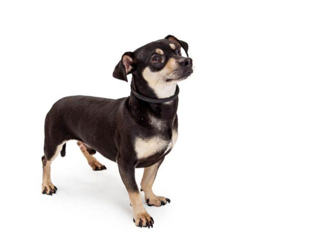 チワワとミニチュア・ダックスフンドのミックス犬 チワックス
