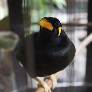 キュウカンチョウ(九官鳥)