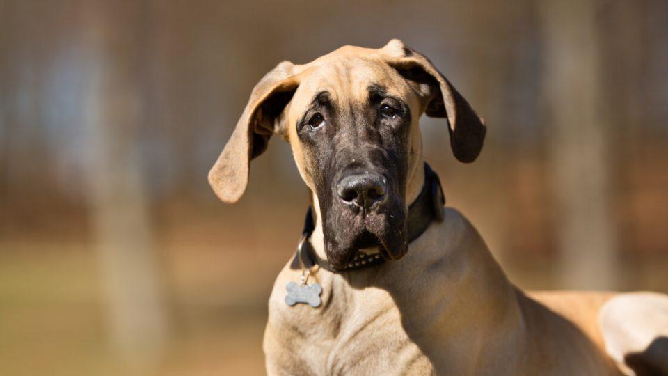 深い絆で結ばれる心優しい大型犬!グレートデンの特徴・飼い方