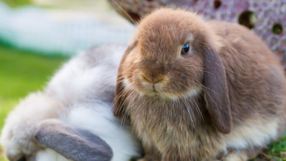 垂れ耳が特徴的なウサギ。ホーランドロップイヤーの特徴・飼い方