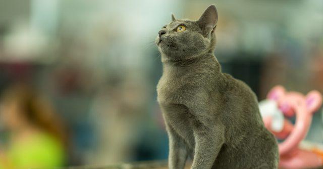 コラット猫