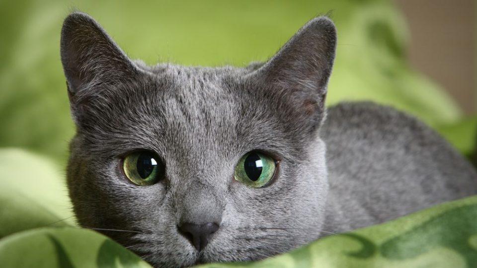 シルバーブルーの毛皮が魅力的!ロシアンブルーの特徴・飼い方