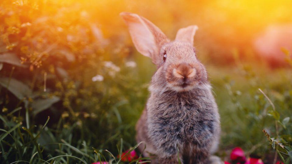そんな品種は存在しない?ミニウサギの特徴と飼い方