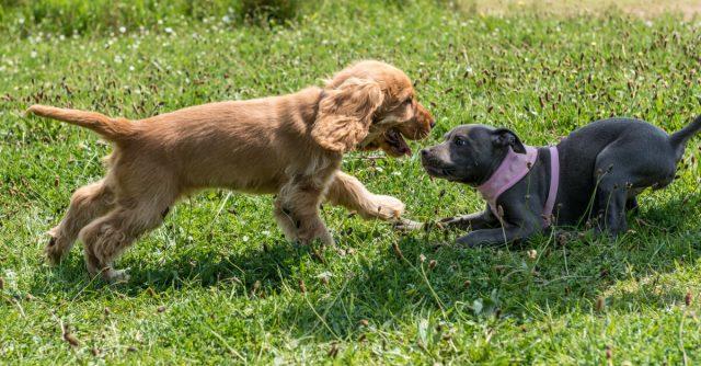 先住犬と子犬をうまく同居させるには