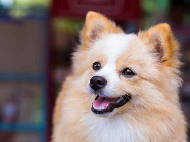 ポメラニアンとチワワのミックス犬 ポメチワ