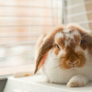 一人暮らしでのウサギの飼い方
