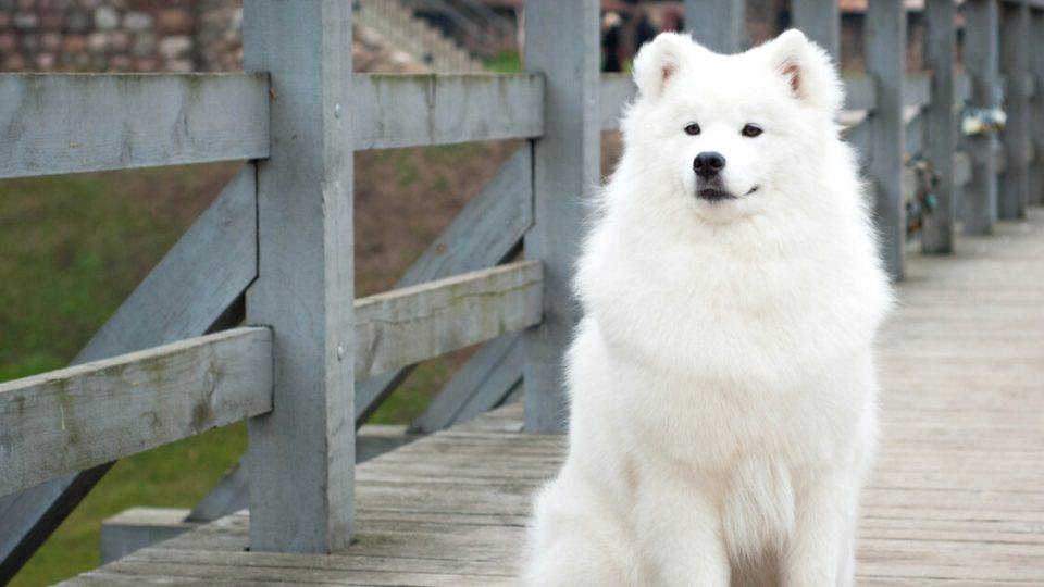 ふわふわした白い被毛が魅力的!サモエドの特徴・飼い方
