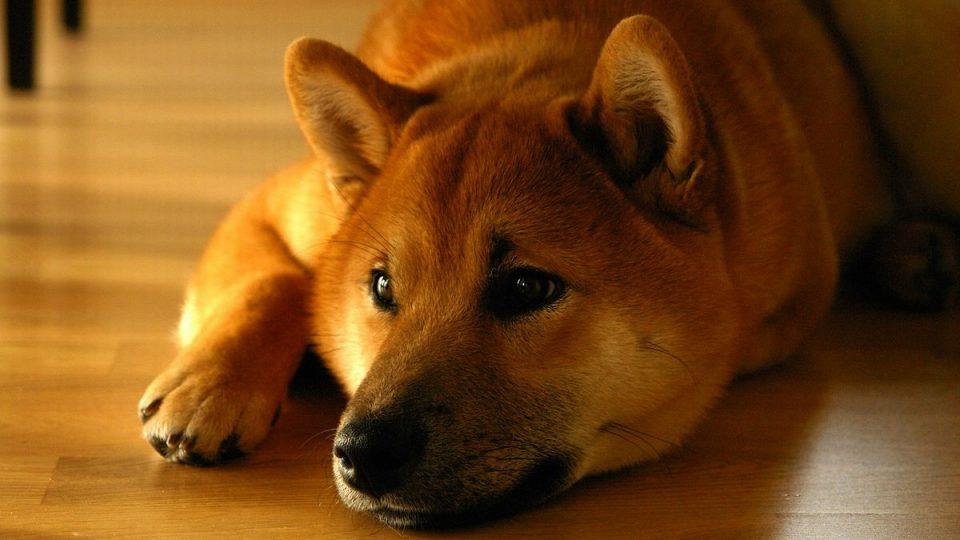 初心者におすすめ!従順でしつけやすい柴犬の特徴・飼い方