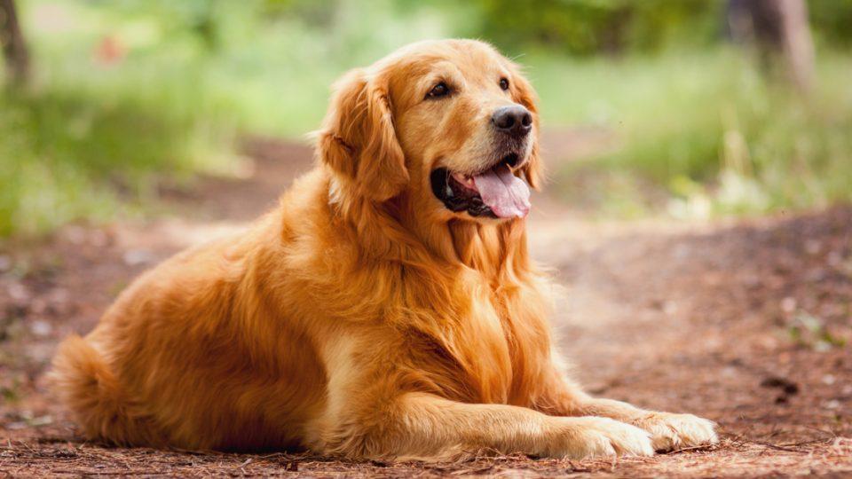 盲導犬や介助犬としても活躍!ゴールデン・レトリバーの特徴と飼い方
