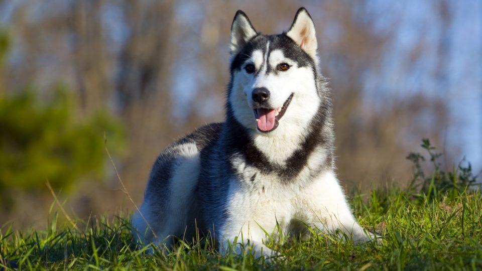 精悍な顔つきなのに番犬には向かない?シベリアン・ハスキーの特徴・飼い方