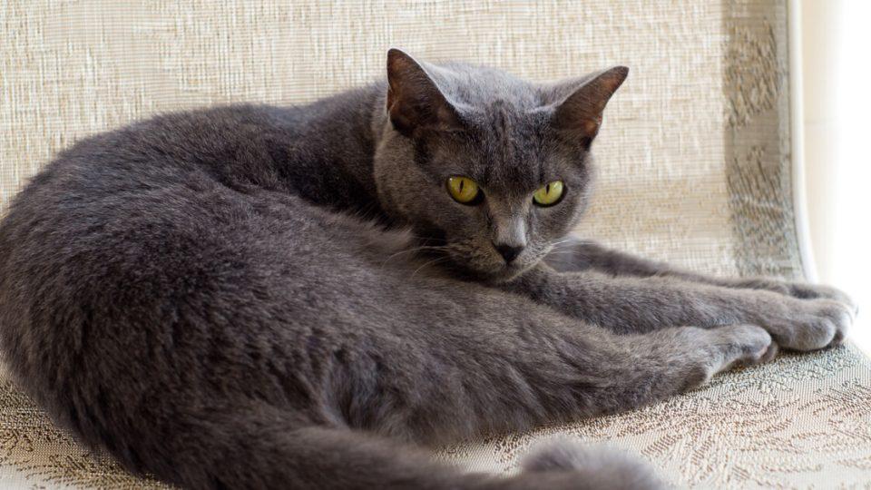 おとなしくて鳴き声が小さい猫がおすすめ!初心者にとって飼いやすい猫3選