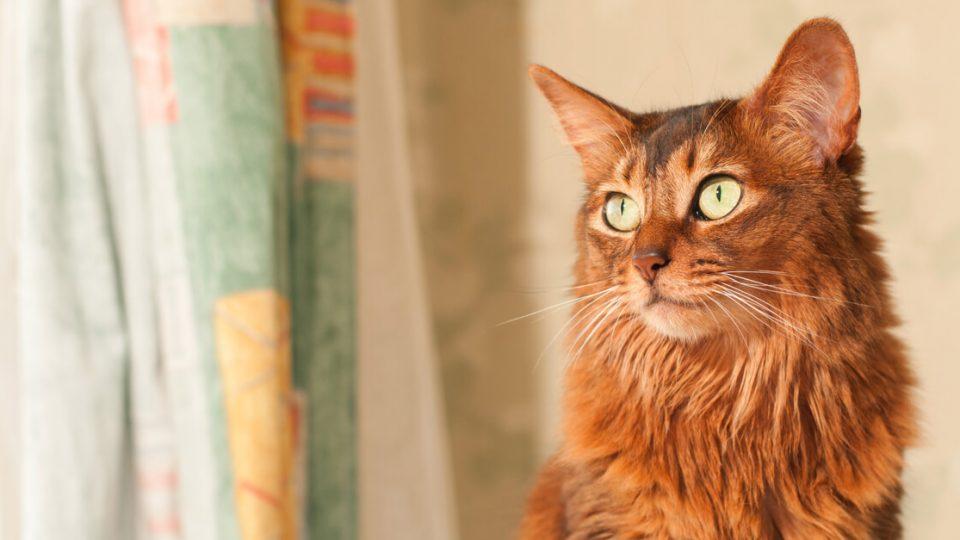 ふわふわの毛が可愛い美人猫、ソマリの性格や飼い方は?