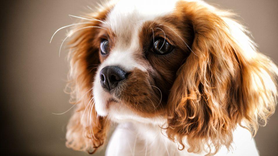 キャバリア・キング・チャールズ・スパニエルとはどんな犬?特徴や飼い方をご紹介