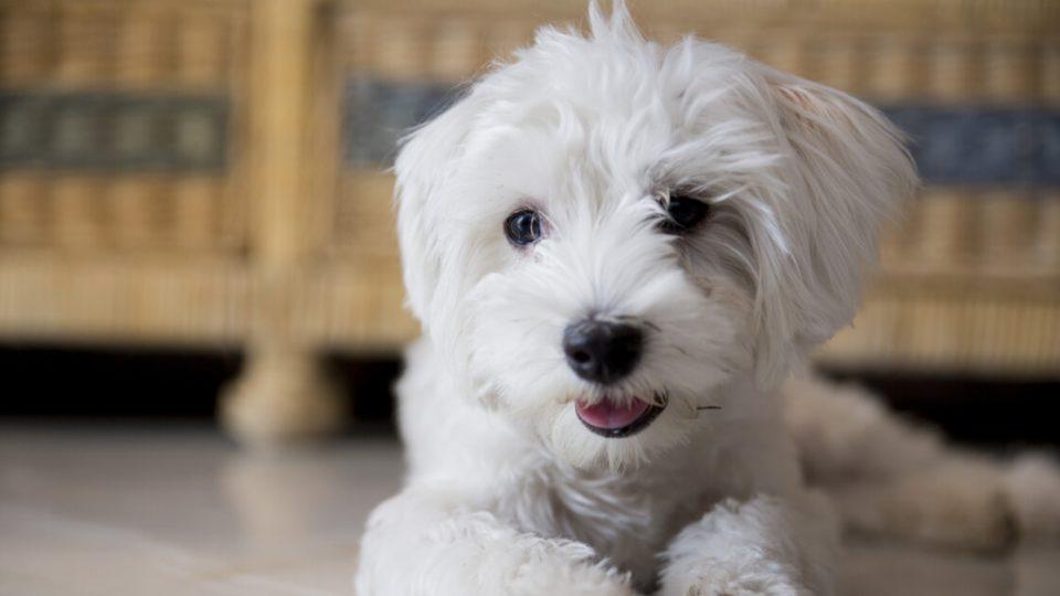 抱っこ好きで甘えん坊!人気犬種のマルチーズの特徴・飼い方