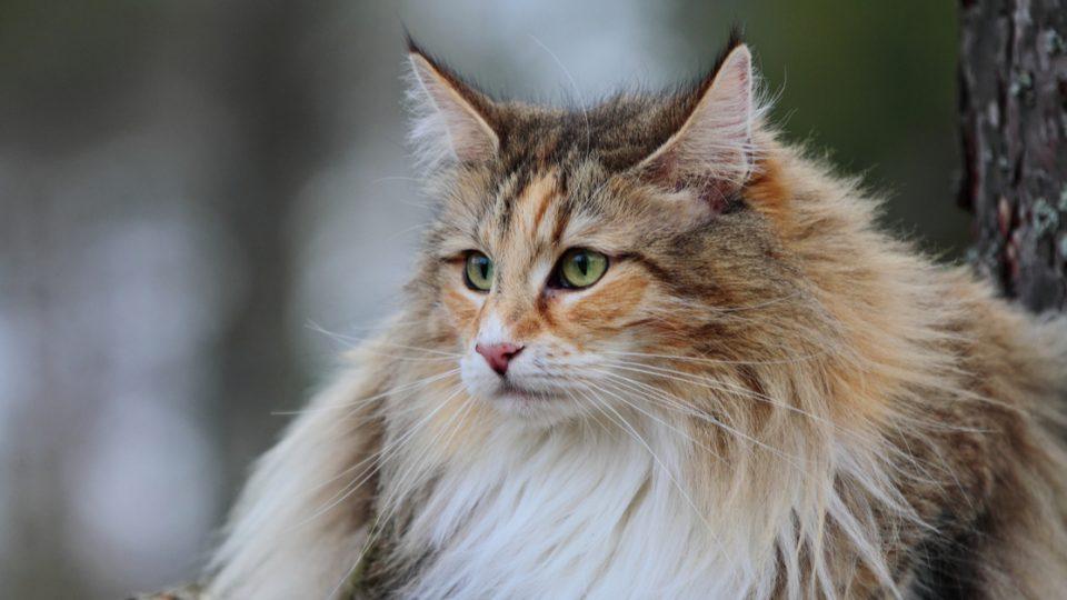 フワフワが魅力!ノルウェージャンフォレストキャットの特徴・飼い方