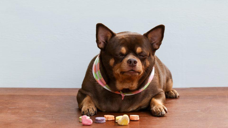 犬も太りすぎはダメ!肥満が原因でかかりやすくなる病気
