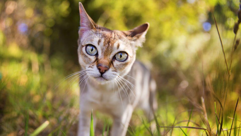 世界で一番小さい猫?シンガプーラの魅力とは