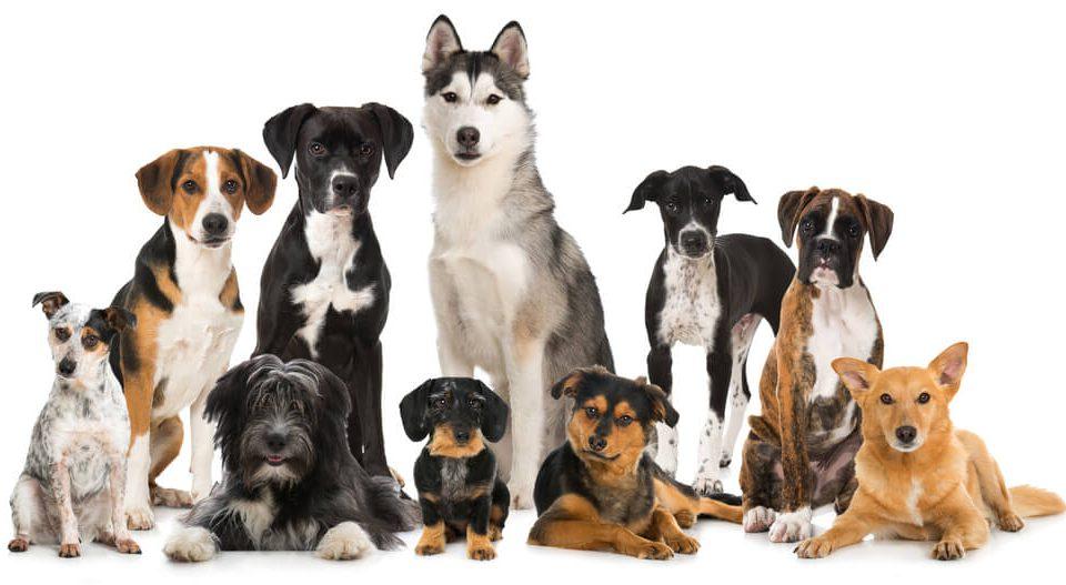 犬を能力や体型で分類するとこんな感じ!犬の種類10グループ