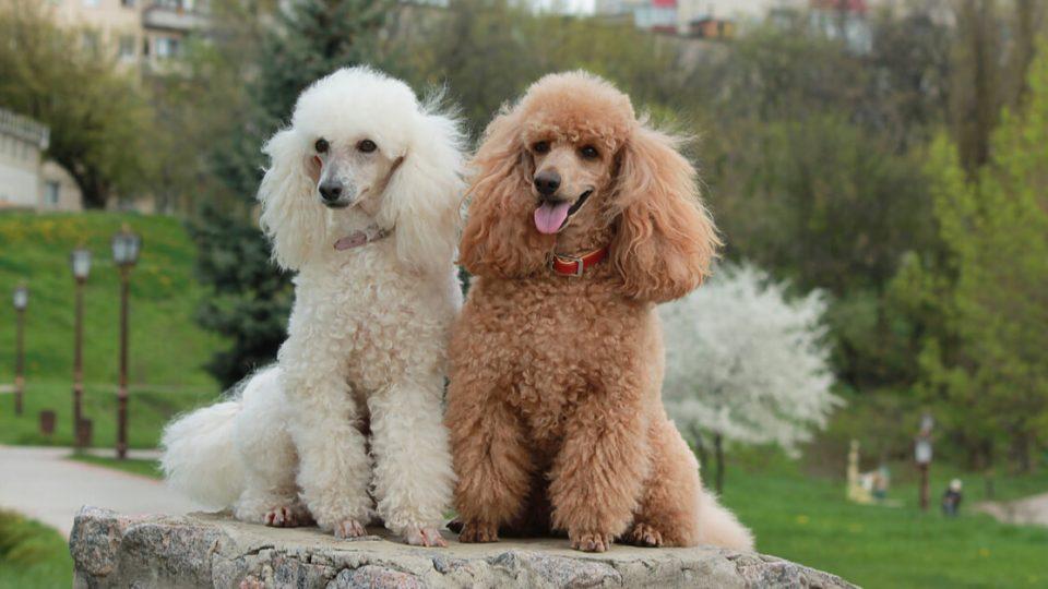 知能の高さは犬の中でもトップクラス!プードルの特徴と飼い方