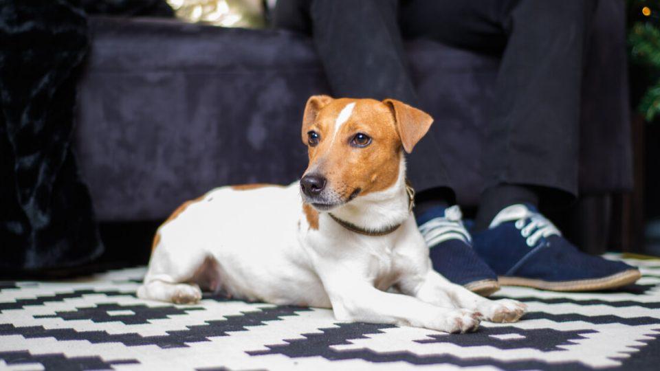 小型犬とは思えないパワーとスタミナ!ジャック・ラッセル・テリアの特徴・飼い方