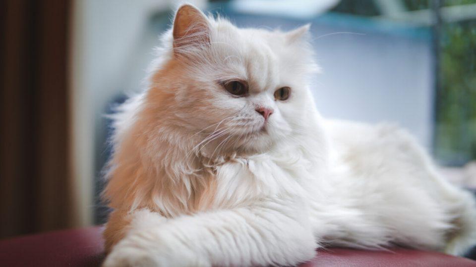 ゴージャスな外見とは裏腹に温和で大らか!ペルシャ猫の特徴・飼い方