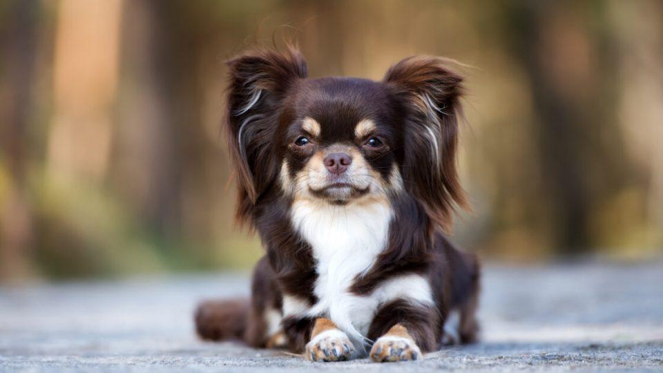 実は勇敢で番犬として優秀?チワワの特徴・飼い方