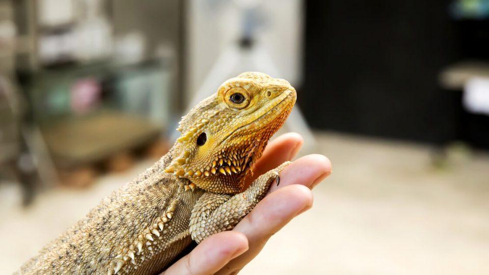 名前を覚えるほど人に懐く爬虫類!?フトアゴヒゲトカゲの特徴・飼い方