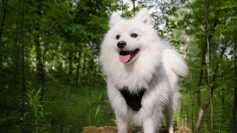 家庭犬と番犬の良さを併せ持つ日本スピッツの特徴・飼い方